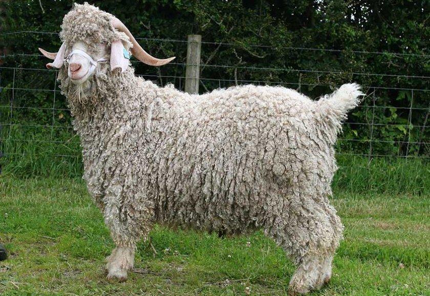 картинка шерсть козы данные