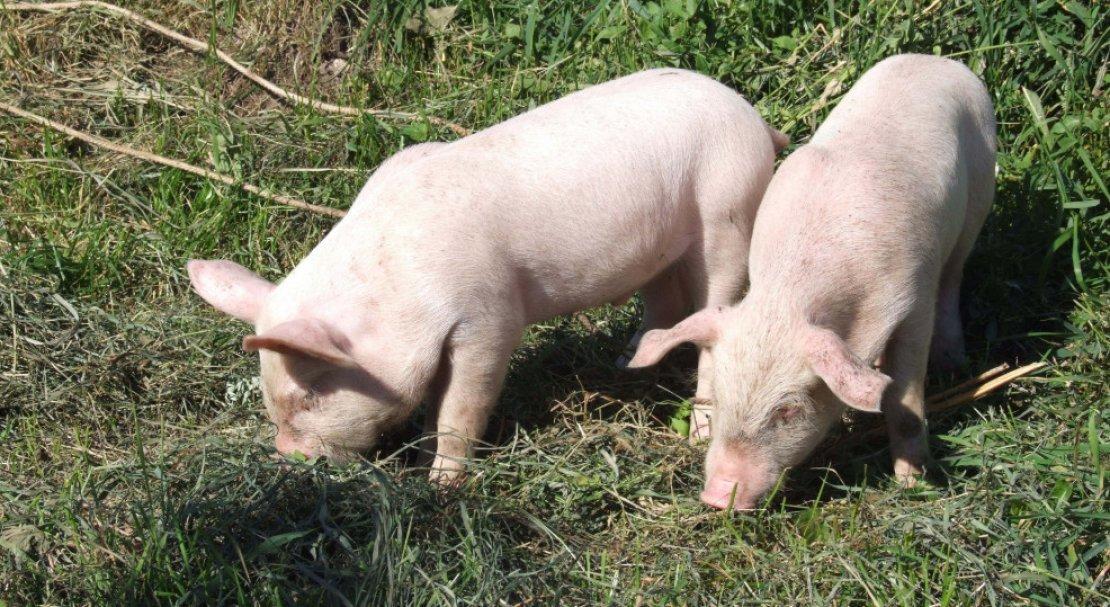 свиньи ландрас фото каталоге интернет-магазина