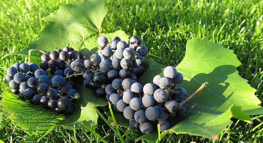 для виноград альфа описание сорта фото нашли здорового ежика