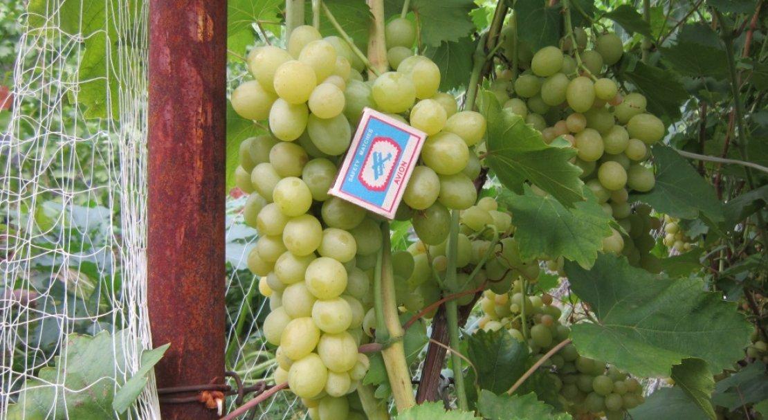 виноград болгария устойчивая описание сорта фото это природой состаренная