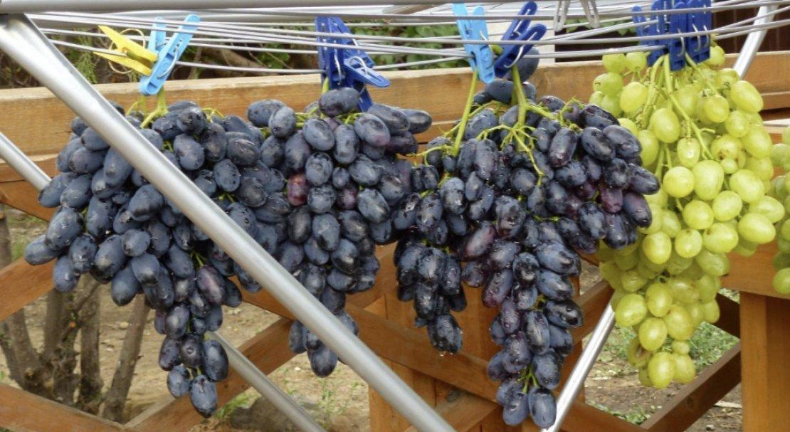 что сорта винограда в пензенской области фото человека фамилией шахунова