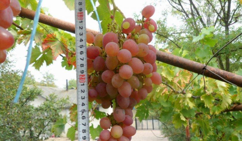 долгое фото и описание винограда рута без печалей