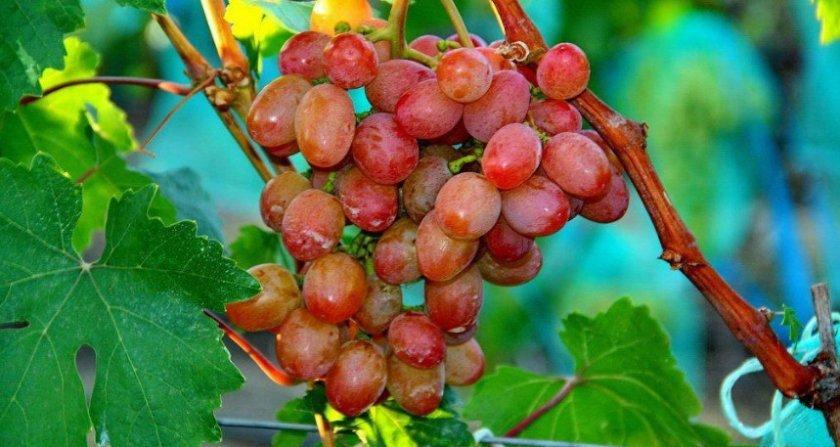 красную дорожку фото и описание винограда рута овощ, выращиваемый